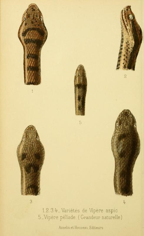 Les vipères de France: morsures, traitement, - Biodiversity Heritage Library