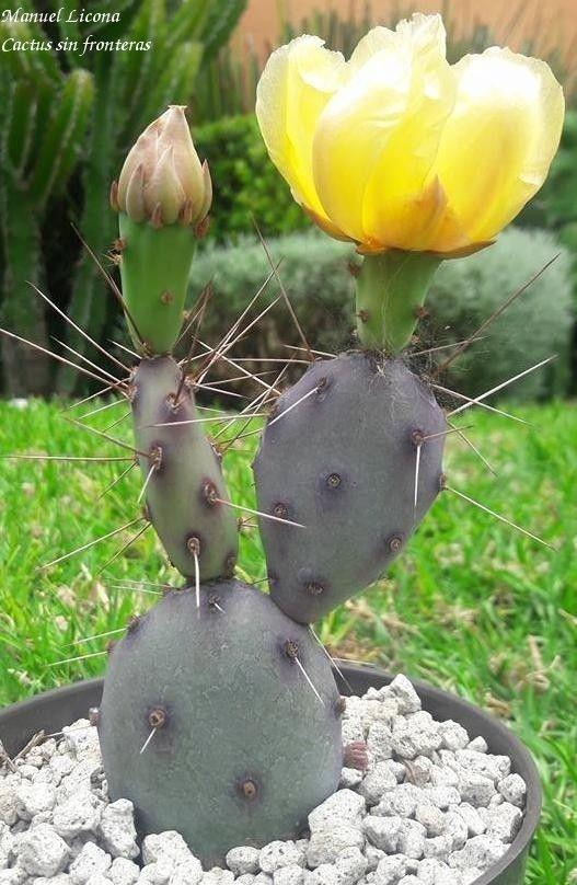 Opuntia Santa Rita / Cactus sin fronteras / Manuel Licona