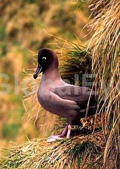 Light-Mantled Sooty Albatross. Image Info Toolkit Sooty Albatross nesting on sub-antarctic Macquarie Island. Phoebetria palpabrata.Photograph By Matt   Brading #BirdsPhotography