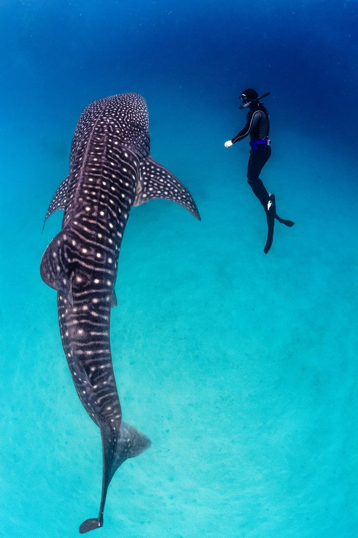 Freediving with Whalesharks - Bahía Concepción, Philippines. This is on Toby's wish list, swimming with a Whale Shark.