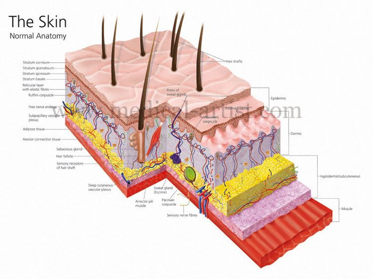 anatomy and physiology of the skin The human anatomy and physiology course is designed to introduce students pursuing careers in the allied health field to the anatomy and physiology of the human body.