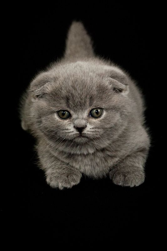 Scottish Fold Blue. This looks like my Pickles except she's got golden eyes. They're such cute kittens.