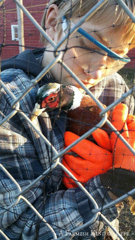 best 25 raising pheasants ideas on pinterest chicken coops