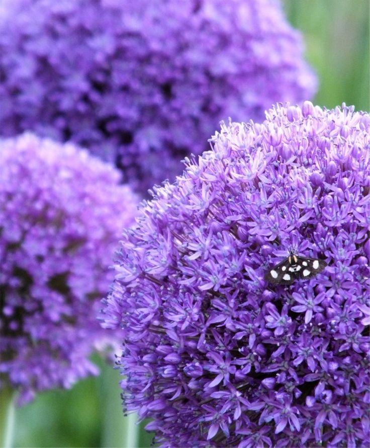 Allium Globemaster - Allium - Flower Bulb Index