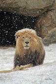 2012 Snow at the JHB zoo - and the king of the jungle magestically enjoys it