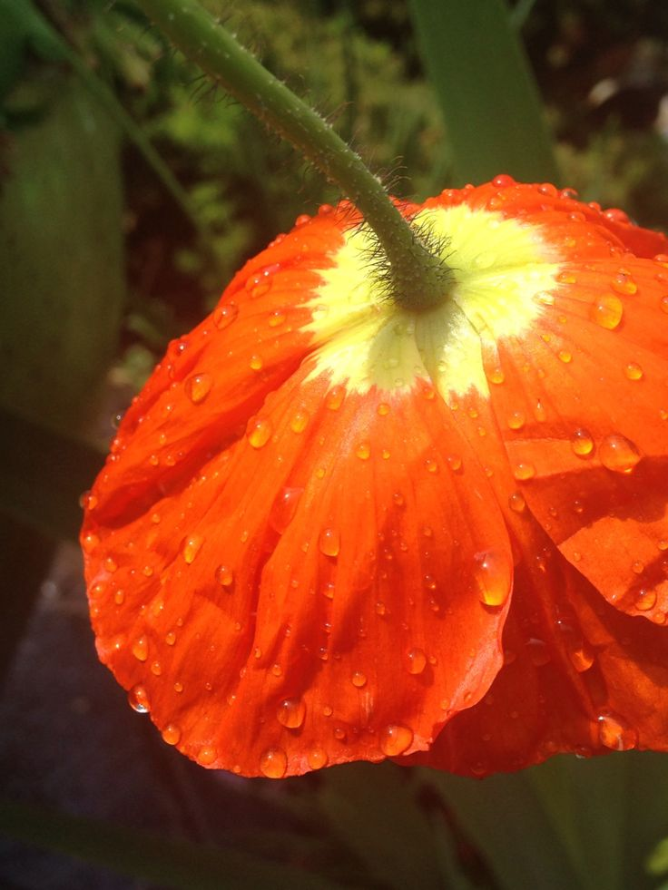 Iceland Poppy- a welcome sight in my garden, even after it rains in the Northwest.