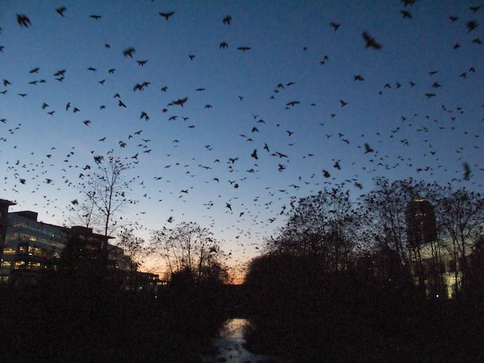 Crows merge...every night, in Burnaby, BC near Still Creek Drive & Gilmore.