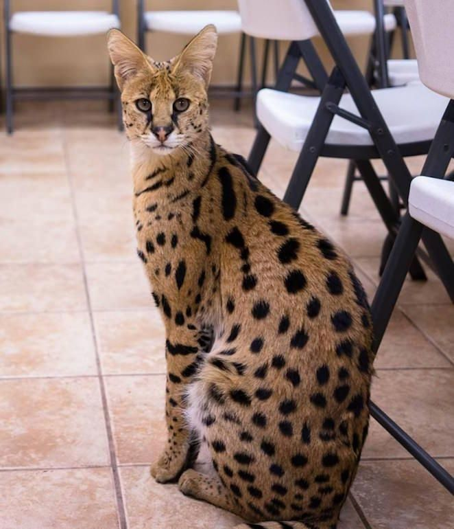 Savannah A Savannah Is A Feline Hybrid Crossbreed Of A Serval And A Domestic Cat We Must Say It Is Pretty Cute And It H African Serval Cat Serval Cats Serval