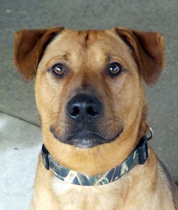Dogs For Adoption Petfinder Labrador Retriever Dog Adoption Labrador