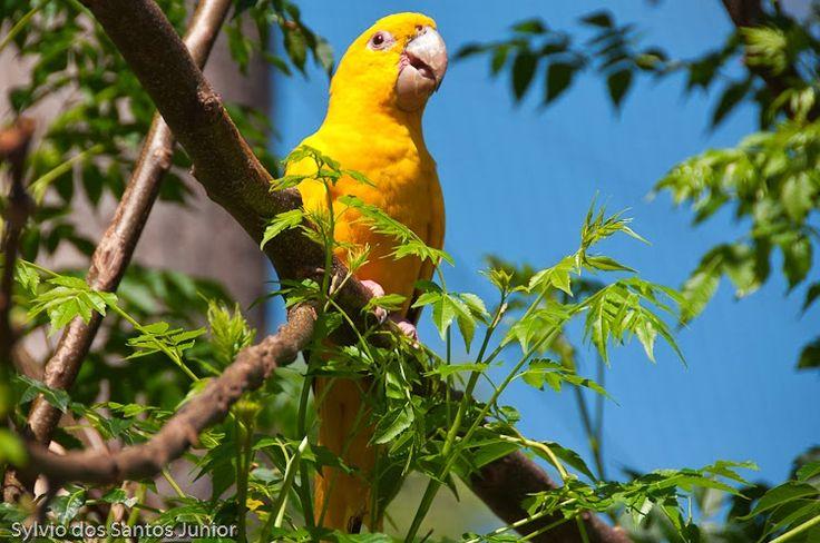 Ararajuba - Guaruba guarouba - (Papagaio Amarelo)