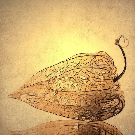 Physalis by Priska Wettstein. Chinese lantern pod.