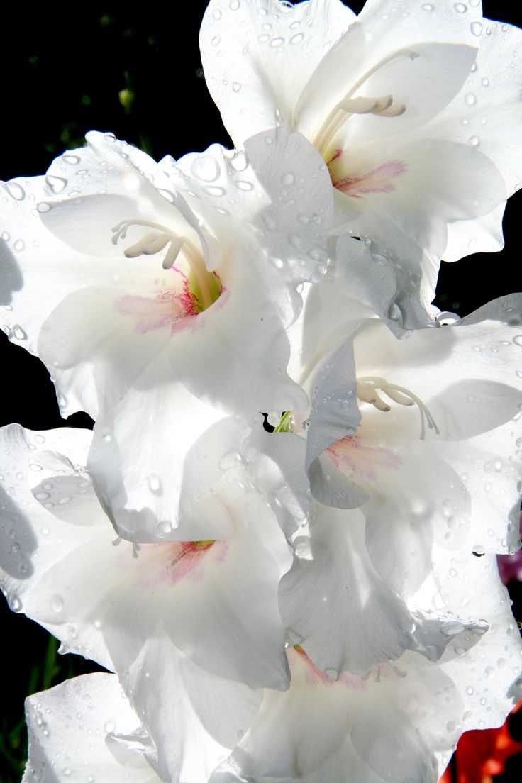 273 best Gladiolus Flower images on Pinterest | Gladiolus ...