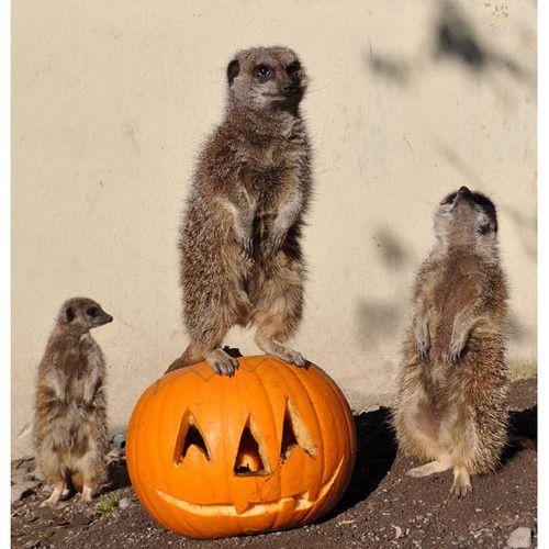 meerkat.... my spirit animal. <3