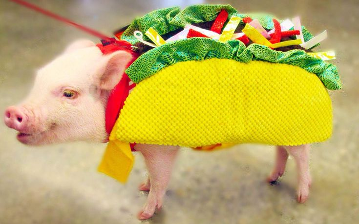 Hamlet the micro pig seen here dressed up in a taco outfit. Having captured the hearts of more than 93,000 followers on Instagram, the micro pig is bacon care of business when it comes to dress up. The nine-month-old miniature pig, who is named after Lady Hamlet from the Shakespeare play, is no boar when it comes to style and can be seen wearing a tutu, a flower crown or even a unicorn suit in the name of fancy dress. But despite her diminutive size, Hamlet from Pasadena, California loves to…