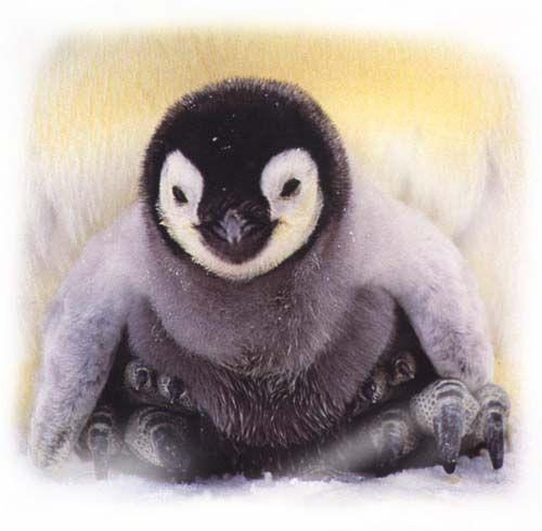 a baby emperor penguin