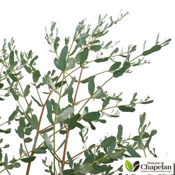 Eucalyptus gunnii 'France Bleu' ® : c5L