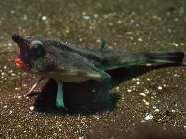 Red-Lipped Batfish  Photograph by David Doubilet, National Geographic    This photogenic fish has red lips and fins made for walking the seafloor near the Galápagos Islands.
