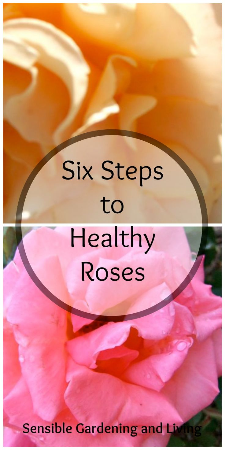 Ho/how to take care of climbing roses for winter - Six Steps To Healthy Roses With Sensible Gardening And Living