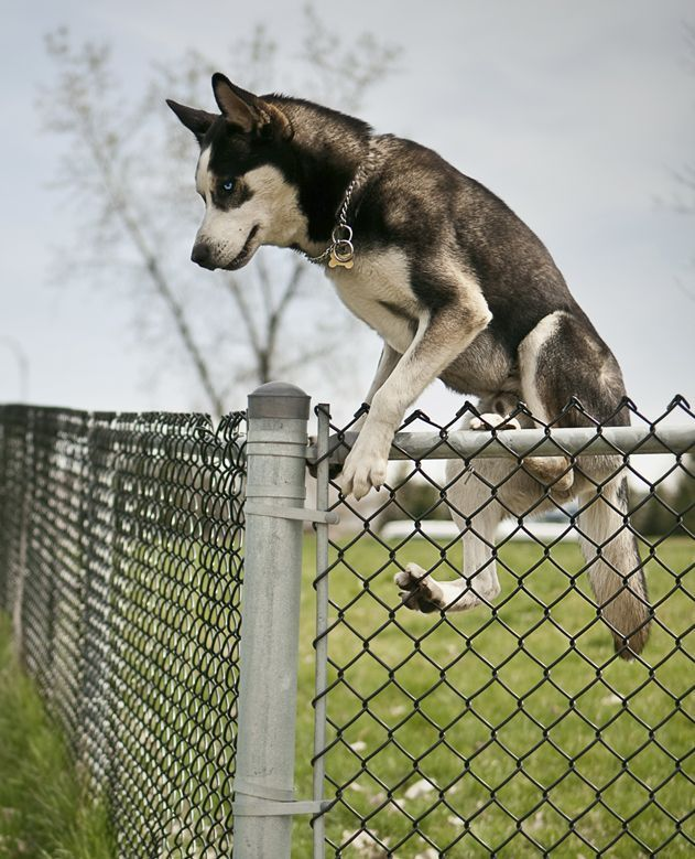Picture Of Dog Jumping Over The Fence