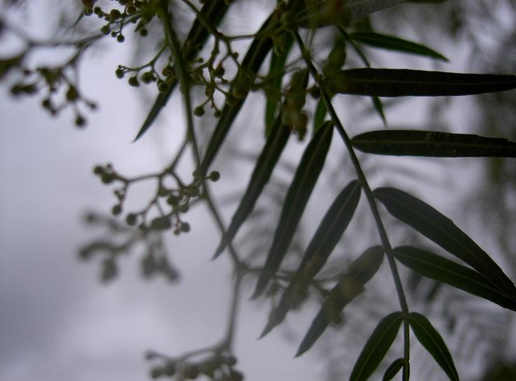 pepper tree detail