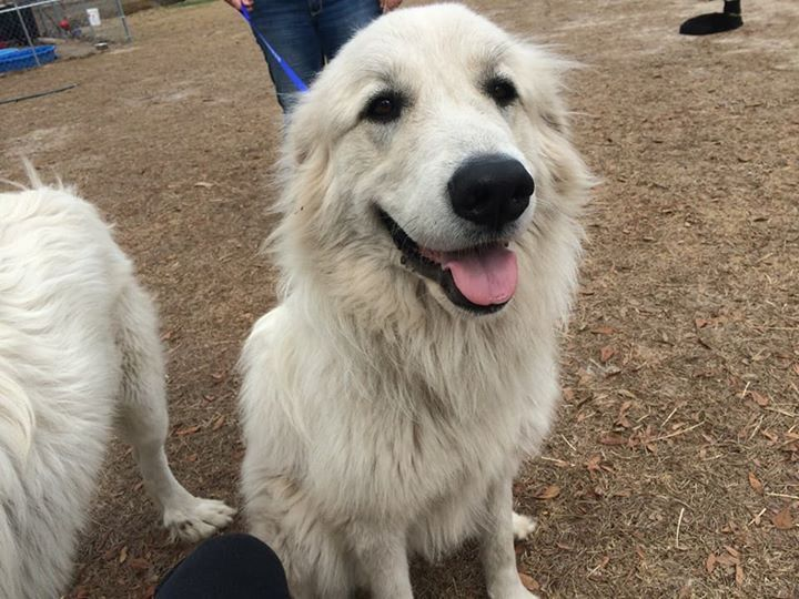 Great Pyrenees Dog For Adoption In Panama City Fl Adn 785885 On