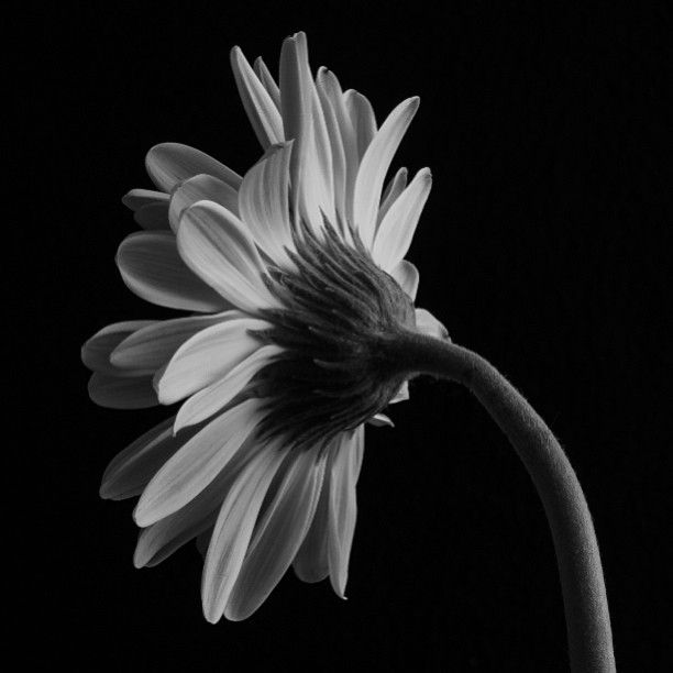 #fabmacro #floralfix #flowerstarz #flowerstalking #rsa_macro #rebel_macro #royalsnappingartists #md_macro #macro_perfection #macro_secrets #macrophotography #topfleur #most_deserving_bw #macro_flower_passion #d7000