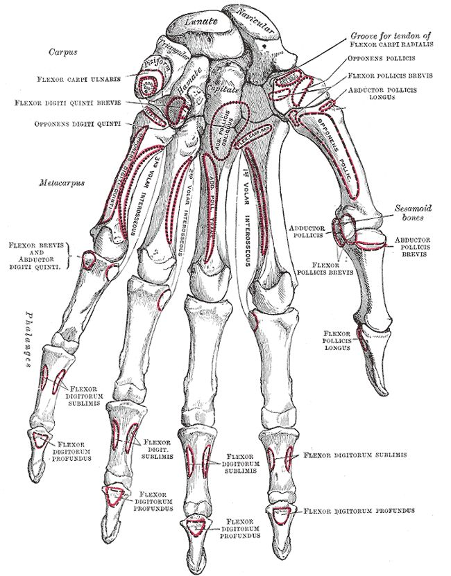 Navicular Bone Hand - Health, Medicine and Anatomy Reference Pictures