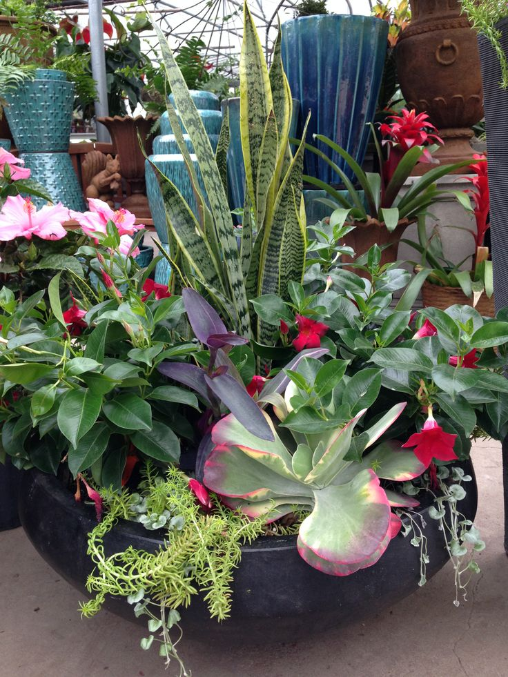 Tropical plants actually do well in the midwest containers diy outside pinterest - Tropical container garden ...