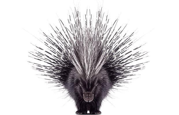 North American porcupine  Picture: ANDREW ZUCKERMAN