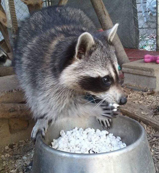 Grace eating popcorn~♡ #coon #raccoon #mapache #waschbar #trashpanda #popcorn #snacktime #snacking #tastesgood #nomnom #animalsofinstagram #graceandhopecoons