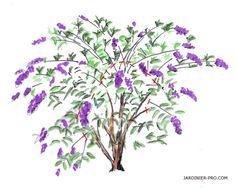 Croquis de l'arbre a papillon avant taille