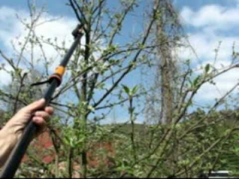 Jarní řez ovocných stromů pomáhá k prosvětlení koruny a lepšímu vyzrávání plodů. Při stříhání ovocných stromů odstraňujeme také