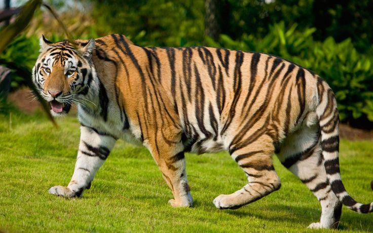 Bengal Tiger Wide Wallpaper HD