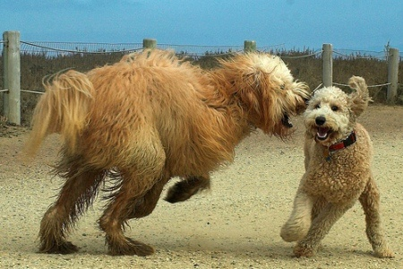 territorial aggression dog--is that Joey and his dad?