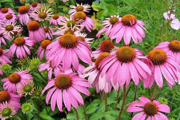 Echinacea => MEDICINAL USES: acne, antibiotic, bites, colds, immune system, poison @herbsHeart