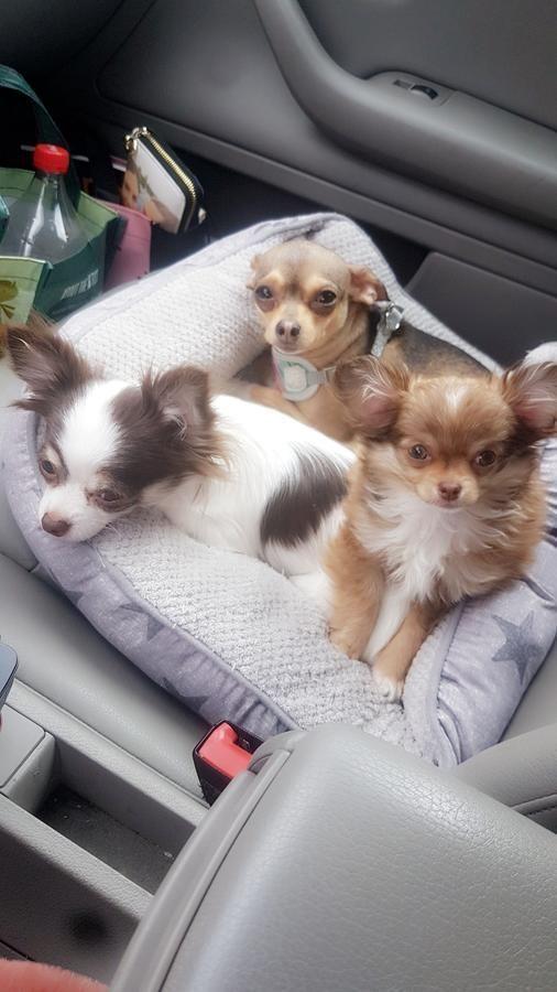 C K C Registered Femal Chihuahua In Mississauga Ontario Hoobly