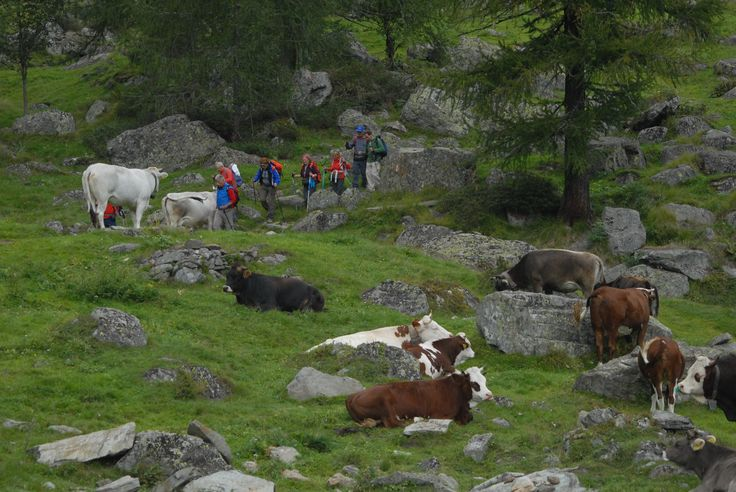 The local dairy cattle are used to hikers on their patch!