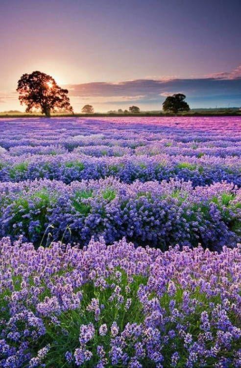 ~~Lavender Farm ~ Abiquiu, New Mexico   Purple Adobe Lavender Farm~~