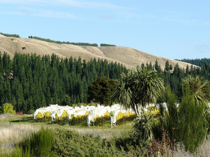 Nautilus Estate Clay Hills Vineyard... beautiful NZ native Nikau trees in the foreground.
