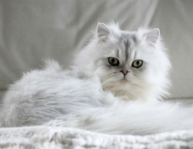 chinchilla cat | Chinchilla | Essendon Vet Clinic