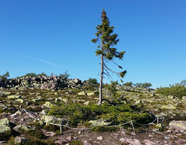 Old Tjikko, el árbol que tiene más de 9500 años de edad - https://www.jardineriaon.com/old-tjikko.html #plantas