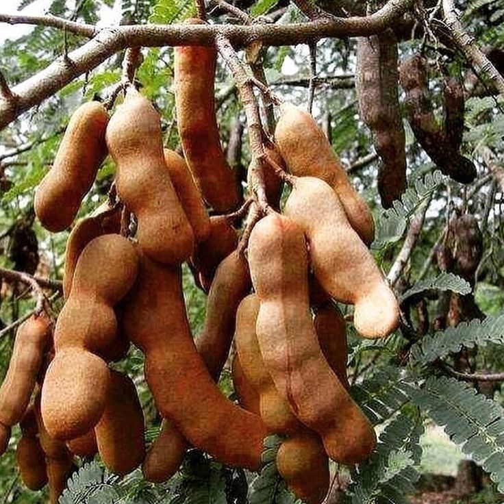 Tamarind or Imli is a sweet and tangy spice-condiment used widely in every south Asian kitchen and it is also one of the favourite summer treats.  If you happen to spot some tamarind pods in your local store, grab some and eat with salt  Photo Instagram.com/prashantsts  #tamarind #food #indianfood #spice ##spices