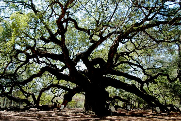 Angel Oak needs help. Click through to see how.