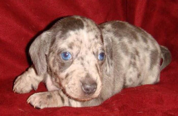 Grey dapple dachshund | Puppies | Pinterest | Grey, Dapple ...