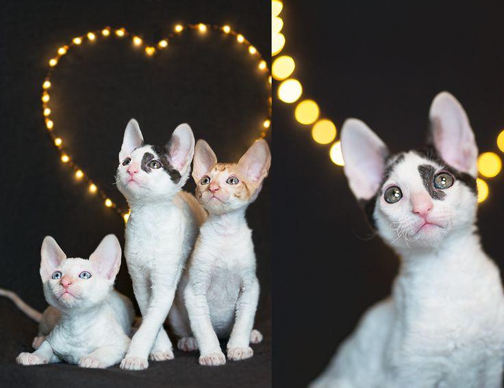 Cornish Rex – kattungar med ullig päls Cornish Rex / Helena Karjalainen