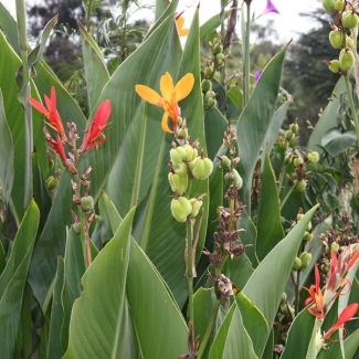 Indian shot | Canna indica - gradually removing, though it keeps re-appearing. It competes with and replaces indigenous species. Existing legislation: CARA 2002 – Category 1 Proposed legislation: NEMBA – Category 1b