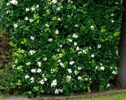 """Murraya paniculata  Paul says, """"Very common semi-formal hedge plant, attractive green soft foliage, white fragrant flowers through spring/summer. Needs a good hedge after flowering minimum, although through growing season you can hedge it 2-3 times. Good drought tolerance. There are a few cultivars of Murraya available."""""""