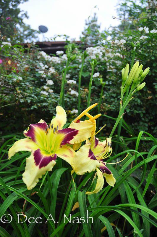 daylilies and lilies how to tell the difference in flowers
