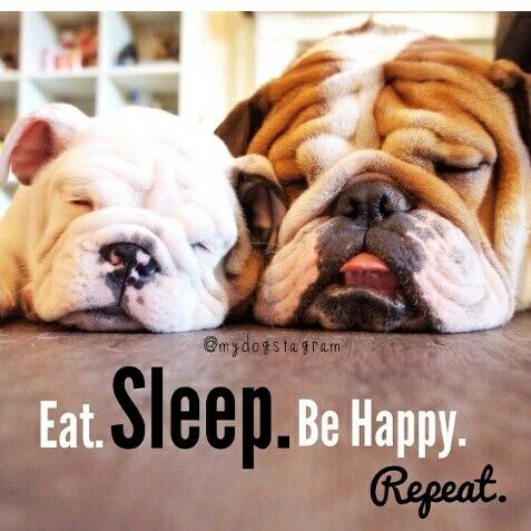 Exactly why I love Bulldogs, they share my life motto...plus they're adorable