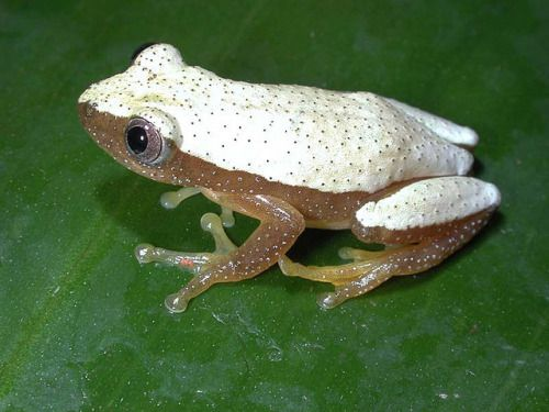 """libutron: """" Fornasini's Spiny Reed Frog Afrixalus fornasini (Hyperoliidae) is an african frog characterized by its color pattern, dark with broad light silverish dorsolateral bands from tip of snout to anus. The bands meet posteriorly, not..."""